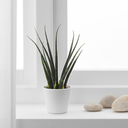 SANSEVIERIA potted plant with pot