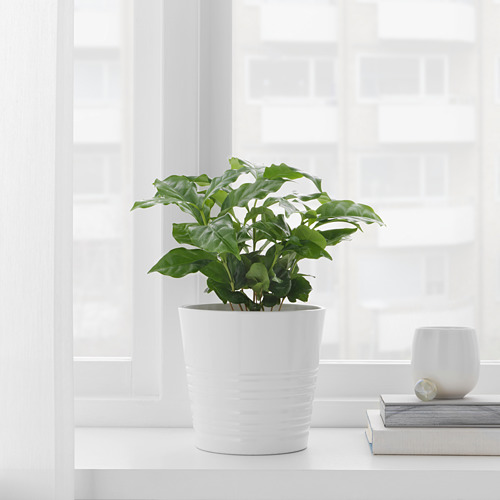 COFFEA ARABICA potted plant
