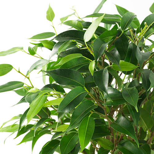 FICUS potted plant