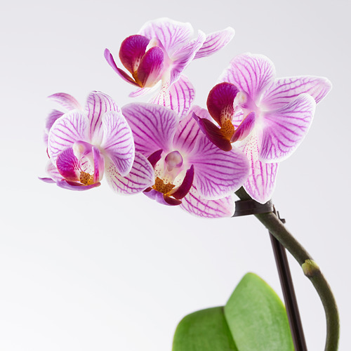 PHALAENOPSIS potted plant with pot
