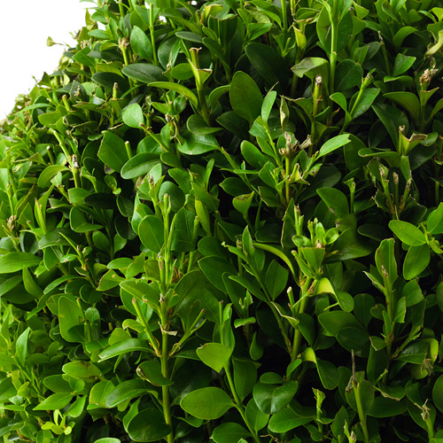 BUXUS SEMPERVIRENS potted plant