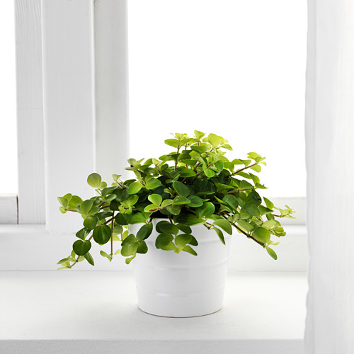 HIMALAYAMIX potted plant