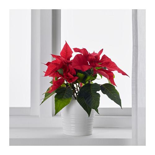 POINSETTIA vazoninis augalas
