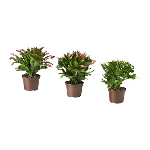 SCHLUMBERGERA vazoninis augalas