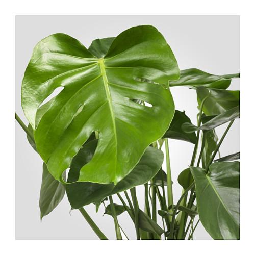 MONSTERA vazoninis augalas