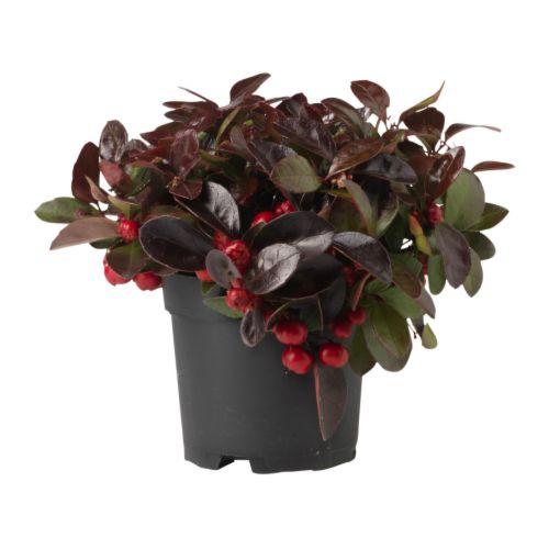 GAULTHERIA PROCUMBENS vazoninis augalas