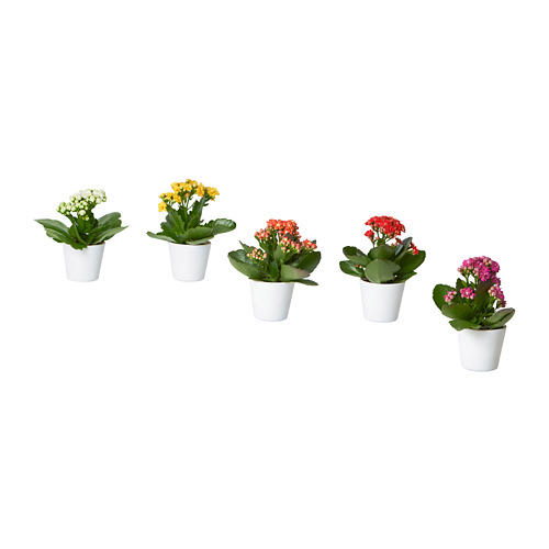 KALANCHOE potted plant with pot