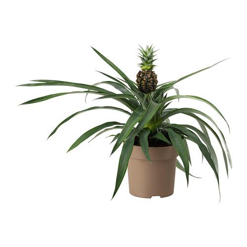 ANANAS vazoninis augalas