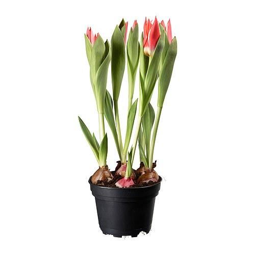 LÖKARYD vazoninis augalas