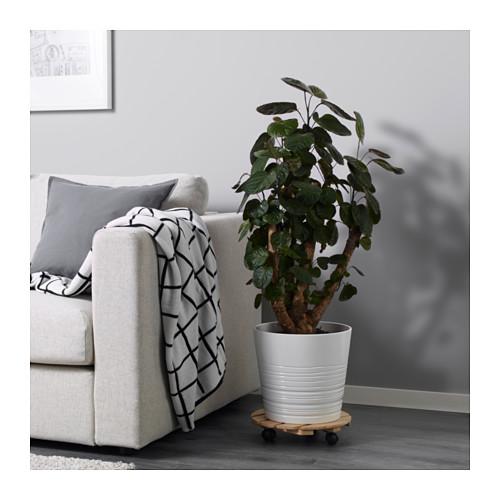 POLYSCIAS FABIAN vazoninis augalas