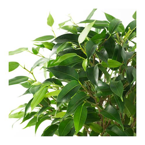 FICUS BENJAMINA 'NATASJA' vazoninis augalas