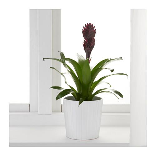 BROMELIACEAE vazoninis augalas