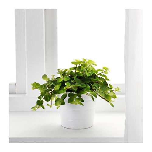 HIMALAYAMIX vazoninis augalas