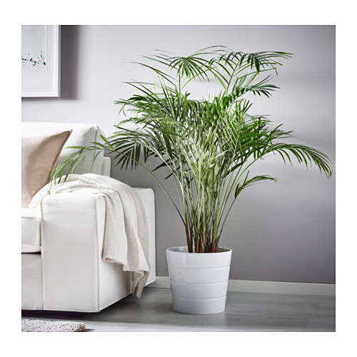 DYPSIS LUTESCENS potted plant