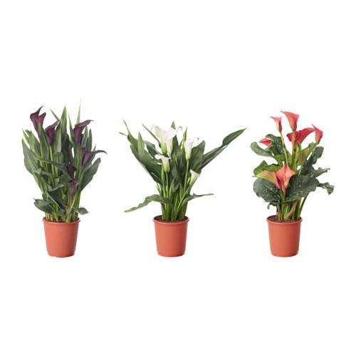 ZANTEDESCHIA potted plant