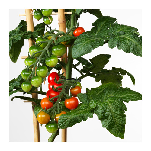 LYCOPERSICON ESCULENTUM TOMATO vazoninis augalas