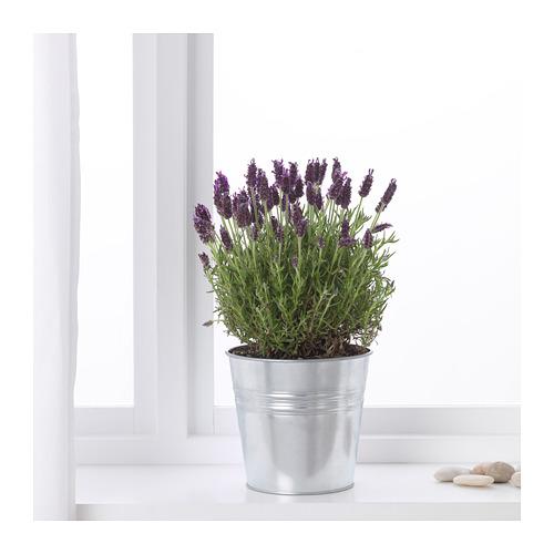 LAVANDULA vazoninis augalas
