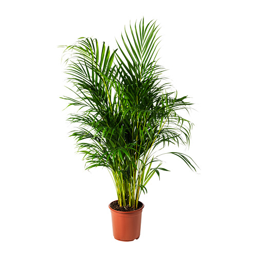 CHRYSALIDOCARPUS LUTESCENS vazoninis augalas