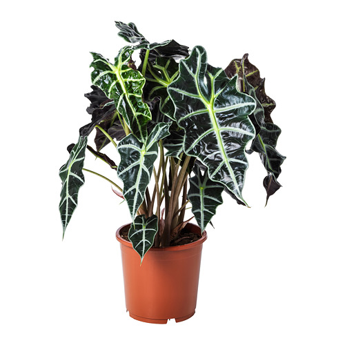 ALOCASIA AMAZONICA vazoninis augalas