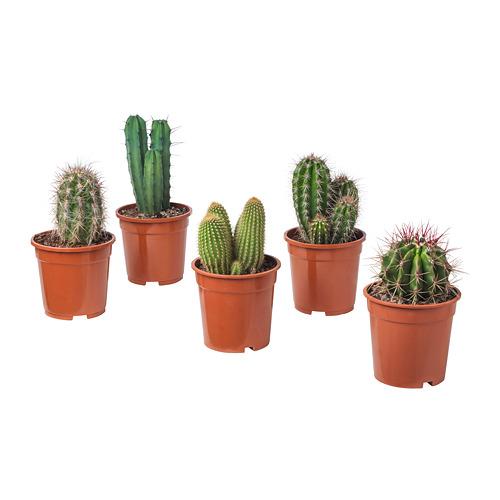 CACTACEAE potted plant