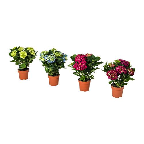 HYDRANGEA vazoninis augalas