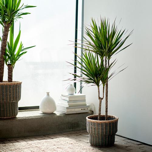 DRACAENA MARGINATA potted plant
