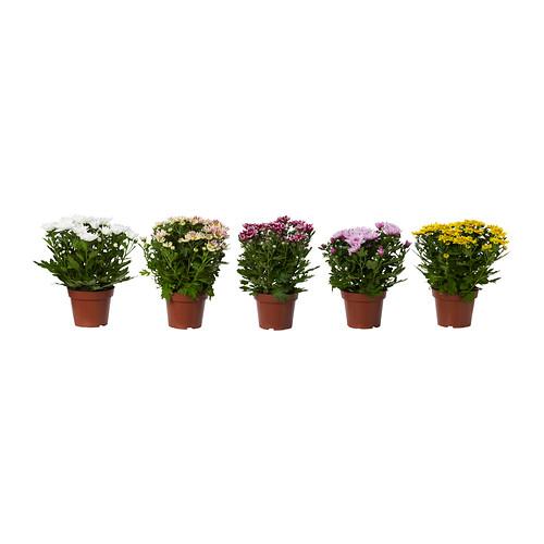 CHRYSANTHEMUM potted plant