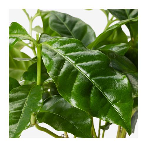 COFFEA ARABICA vazoninis augalas su puodeliu