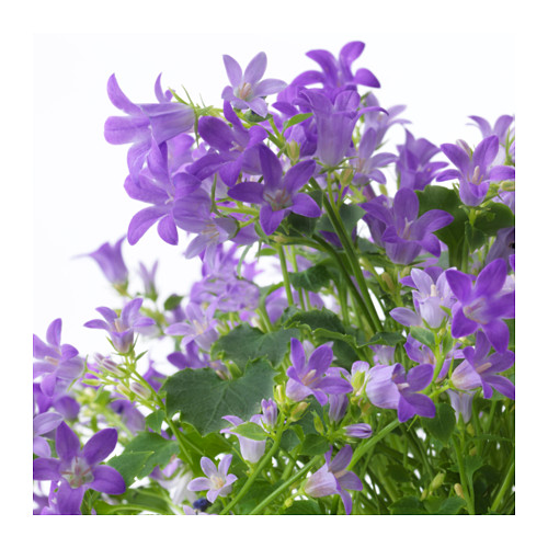 CAMPANULA PORTENSCHLAGIANA vazoninis augalas