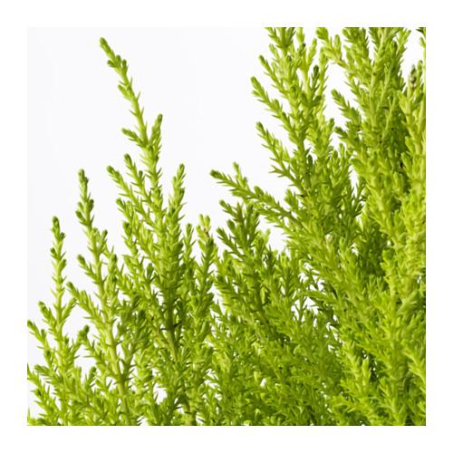 CUPRESSUS MACROCARPA vazoninis augalas