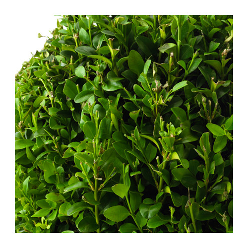 BUXUS SEMPERVIRENS vazoninis augalas