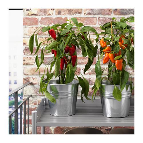 CAPSICUM ANNUUM vazoninis augalas