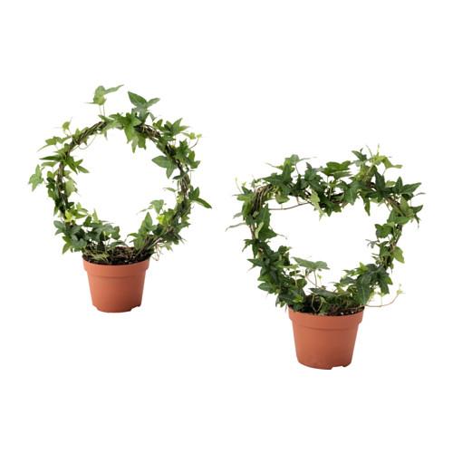 HEDERA HELIX vazoninis augalas
