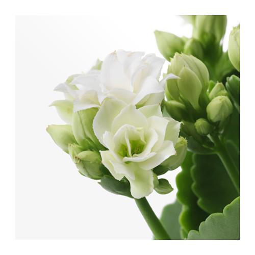 KALANCHOE vazoninis augalas su vazonu