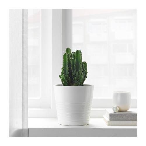 CEREUS PERUVIANUS potted plant