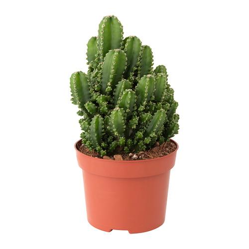 CEREUS PERUVIANUS vazoninis augalas