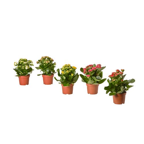 KALANCHOE potted plant