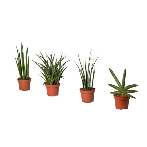 SANSEVIERIA potted plant