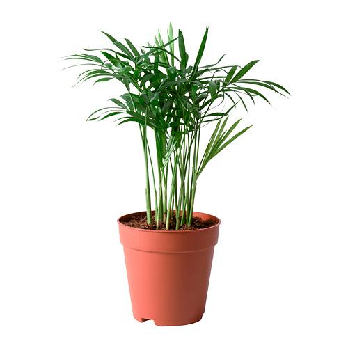 CHAMAEDOREA ELEGANS potted plant