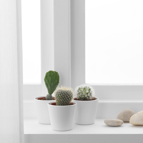 CACTACEAE potted plant with pot